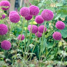 purple flower plant names princess flower princess flower purple