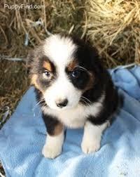 australian shepherd puppy 9 weeks subie the australian shepherd i got me a new toy see how happy i