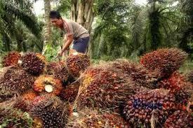 Minyak Kelapa Sawit Terkini minyak kelapa sawit pasokan malaysia melonjak