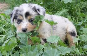 australian shepherd price australian shepherds in arizona price 600 for sale in queen