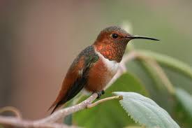 hummingbird migration hummingbirds plus