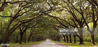 live oak tree stock photos and pictures getty images