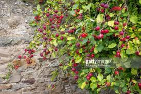 crab apple tree stock photos and pictures getty images