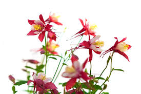 columbine flowers columbine flower meaning flower meaning