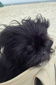 affenpinscher long hair caesar the former miss