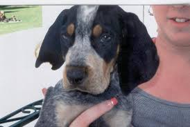 bluetick coonhound puppies for sale backwoods bluetick kennels orlando fl georgia