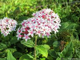 Pentas Flower Late To The Garden Party My Favorite Plant This Week Pentas