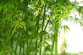 warm weather bamboo bamboo varieties for zone 9 gardens