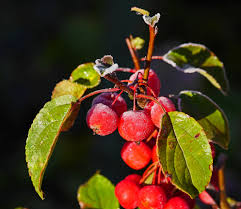 free images branch fruit berry leaf flower food produce
