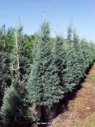 buy carolina sapphire trees we deliver u0026 install arizona cypress