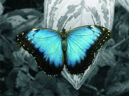 beautiful butterfly with blue wings