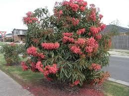 gum ficifolia showy flower clusters quite a dense