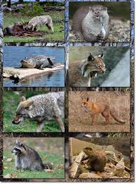 Mississippi Wildlife images Mississippi trappers association proud members of the national jpg
