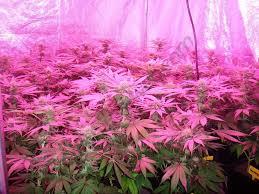 kit chambre de culture led culture de cannabis avec des les led du growshop alchimia