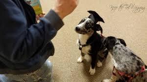 dog graduation cap scout in his graduation cap petsmart puppy class keep the