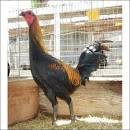 <b>Gà</b> - Q12 - Bán <b>gà</b> Mỹ, <b>gà Peru</b>, <b>gà</b> Mỹ lai, <b>gà Peru</b> lai
