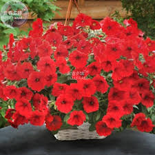 popular plant red flowers buy cheap plant red flowers lots from