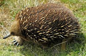 creature feature 10 fun facts echidna wired