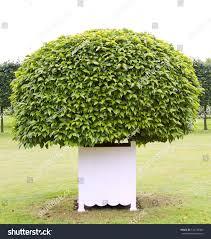 one topiary tree white wooden tub stock photo 110478386