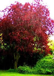 file three horseshoes purple leaf plum tree prunus cerasifera
