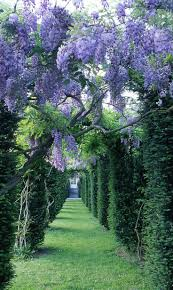 515 best wisteria images on pinterest garden amazing grace and