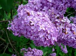 Lilca by Lilac Flower Purple U0026 White Lilac Flowers