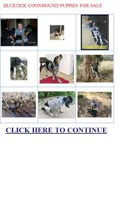 bluetick coonhound owners bluetick coonhound puppies for sale bluetick coonhound puppies