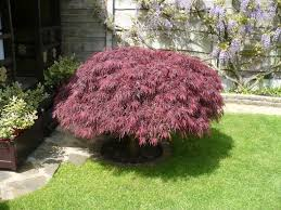 Scottish Rock Garden Forum by Repotting An Established Acer Gardening Forum Gardenersworld Com