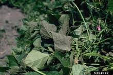 Bean Leaves Bed Bugs Bean Diseases And Pests Description Uses Propagation