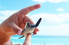 rising temperatures are cooking baby sea turtles in their nests