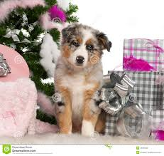 5 monate alter australian shepherd australian shepherd puppy 2 months old royalty free stock photo