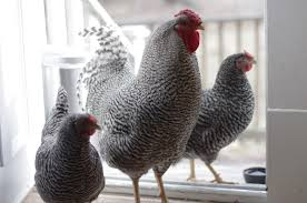restoring the roost favorite treats for backyard chickens