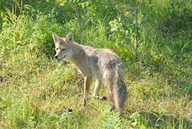 Coyote In My Backyard Coyotes Buffalo Grove Park District Buffalo Grove Il
