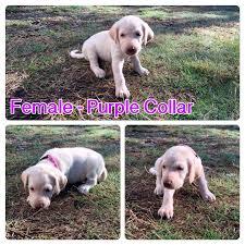 seattle times classifieds pets akc yellow lab pups