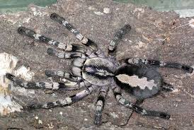 ghost ornamental tarantula