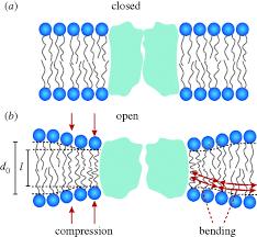 lipid bilayer regulation of membrane protein function gramicidin