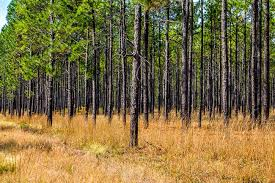 South Carolina forest images Carolina sandhills nwr mcbee south carolina sc jpg