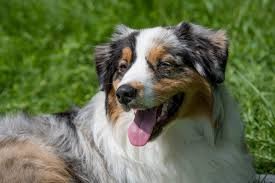 australian shepherd 1 year old common australian shepherd health problems canna pet