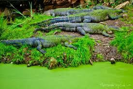 alligators at audubon zoo new orleans usa delicious techniques
