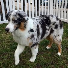 australian shepherd haircuts top dog wash u0026 groom 31 photos u0026 75 reviews pet groomers