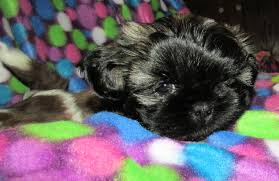 affenpinscher skin problems sponsor a kitten puppy or special need