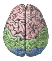 Which Part Of The Brain Consists Of Two Hemispheres Functional Systems Of The Cerebral Cortex Boundless Anatomy And