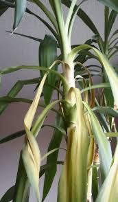 Yucca Wohnzimmer Yucca Wirft Blätter Ab Mit Fotos Pflanzendoktor Kranke