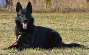 belgian sheepdog price police dogs k 9specialists com