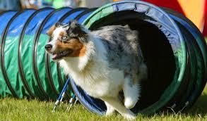 australian shepherd velcro dog australian shepherd breed information