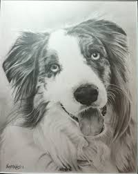 double r australian shepherds pencil drawing i did of a beautiful australian shepherd
