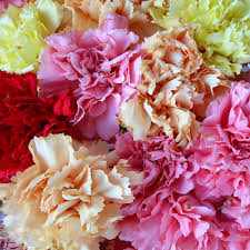 wholesale carnations tips and tricks for healthy wholesale carnations wholesale