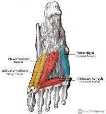 Foot Anatomy Nerves Muscles Of The Foot Dorsal Plantar Teachmeanatomy