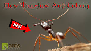 new video check out our new trap jaw ant colony antscanada