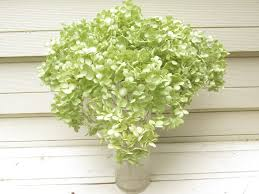 dried hydrangea flowers cream light green 9 stems bouquet